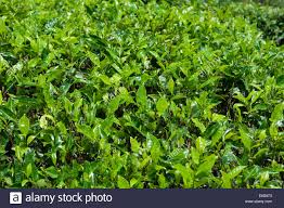 tea plants growing on rolling hills at a tea plantation outside of
