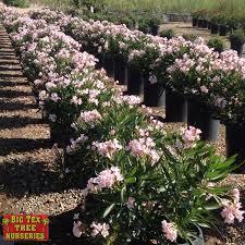 Pink Spring Flowering Shrubs - shrubs big tex tree nurseries