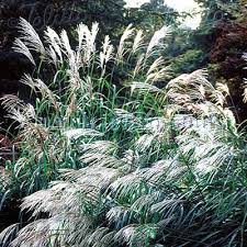 miscanthus sinensis seed japanese silver ornamental grass seeds