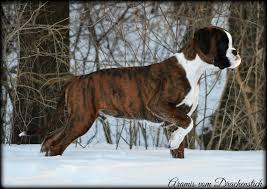 boxer dog european havenwoods boxers top quality akc german and american boxers