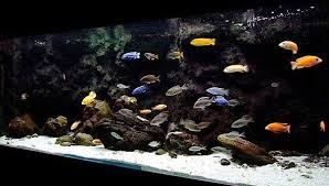 placidochromis jalo reef google search african cichlid