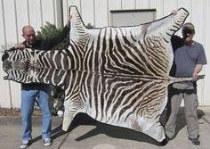 Genuine Zebra Rug Genuine A Grade Felted African Burchell U0027s Zebra Skin Rug Over 18