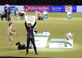 boxer dog crufts 2015 a scandal at crufts again dogbuddy blog