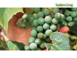 How To Grow Grapes In Your Backyard by The Complete Guide To Muscadine Southern Living
