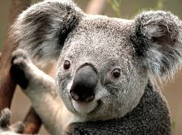 koala bear animal totem symbolism u0026 meanings sun signs
