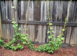 Hops On Trellis We Build A New Hop Trellis And No One Notices U2013 Monday Night Brewing