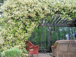 Which Jasmine Plant Is Most Fragrant - 19 best pergola plants climbing plants for pergolas and arbors