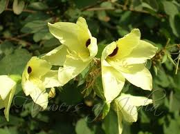 Yellow Orchid Bauhinia Tomentosa Yellow Orchid Tree
