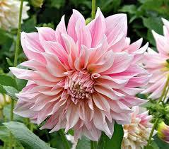 dahlia u0027cafe au lait u0027 dahlia gardens and flowers