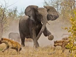 apple wallpaper elephant elephant download wallpaper wild life hd best apple hyena