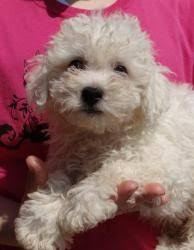 bichon frise dogs for adoption 105 best adorable dogs for adoption images on pinterest adoption