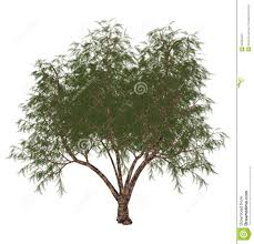 french tamarisk tamarix gallica tree 3d render stock