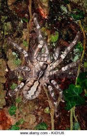 indian ornamental tree spider poecilotheria regalis stock photo