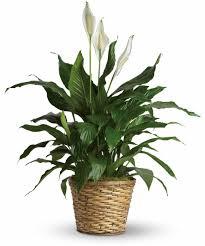 household plants that help battle indoor voc issues
