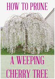 how to prune a weeping cherry tree hometalk inspiration