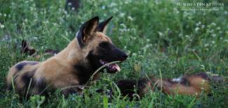 belgian shepherd south africa week in pictures dive bombing into 2017