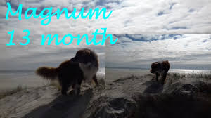 australian shepherd quinn australian shepherd 13 month plage magnum berger australien