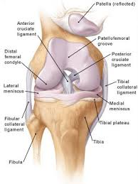 Knees Anatomy Knee Anatomy Ohiodance