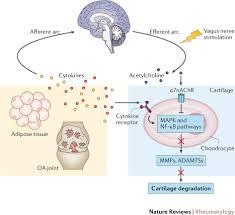 Relex Arc The Cholinergic Anti Inflammatory Reflex Arc In Oa A Working
