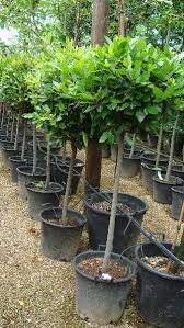 bay tree available from paramount plants and gardens crews hill