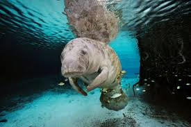 from mermaids to manatees the myth and the reality smithsonian