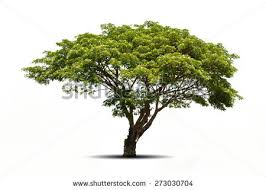 trees isolated on white background tropical stock photo 273030704