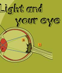 What Structure Of The Eye Focuses Light On The Retina Cow U0027s Eye Dissection Light And Your Eye