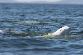 officials search for beluga whale seen in taunton river