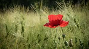 download wallpaper 3840x2160 poppies field spikes summer