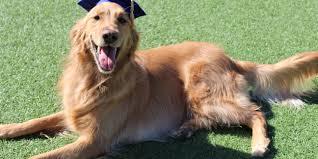 dog graduation cap dog boarding activites pering meadowlake pet resort