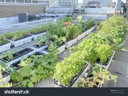 growing vegetables rooftop garden city building stock photo