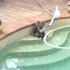 koala finds respite in backyard pool abc news australian
