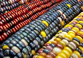 indian corn variegated maize ears display a variety of decorative