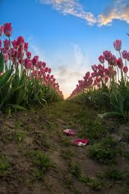 Skagit Valley Tulip Festival Bloom Map Tulip Festival Photography Tours