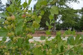iowa native plants edible forest movement grows in iowa quad cities cedar rapids
