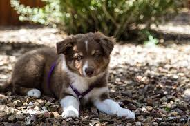 australian shepherd 11 weeks old 8 12 weeks old 2 cool border collies 1
