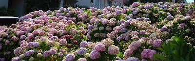 Fertilizer For Flowering Shrubs - fertilizing hydrangeas plant addicts