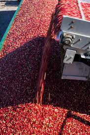 thousands attend cranberry harvest festival by carolyn bick