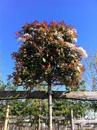 Red Robin Flower Mound - photinia red robin photinia full standard trees for sale uk
