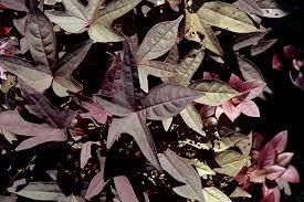 sidekick black sweet potato vine ipomoea batatas sidekick black