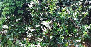 Fragrant Olive Plant 11 Fragrant Plants To Add To Your Garden