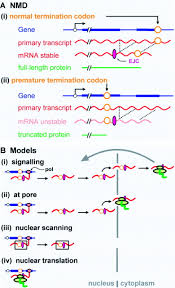 Case For Nuclear Translation Journal Cell Science