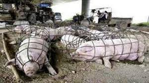 if you didn u0027t know factory farming is the confinement of animals