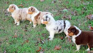 twin oaks 2 australian shepherd australian shepherd smart working dog australian shepherd