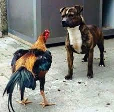 american pitbull terrier vs amstaff staffordshire bull terrier vs dog breeds beastly dogs