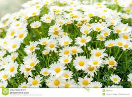 daisy flower garden shop retail store stock photos image 25824523
