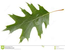 White Oak Leaf Green Leaf Of Red Oak Tree Isolated On White Background Stock