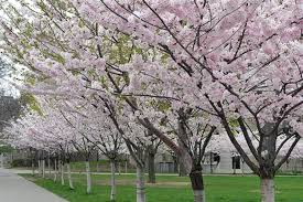 robarts cherry blossoms now in full bloom