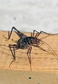 spider crickets the bugs you don u0027t want in your house this fall