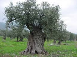 room2 wala the meaning of the olive tree
